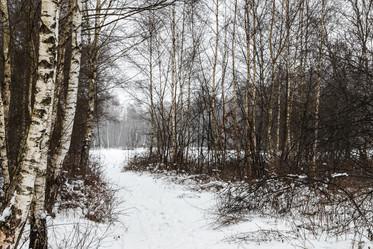 Zwischen Winterbirken
