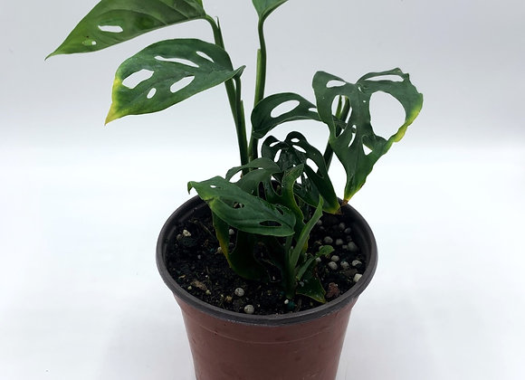 """Swiss cheese philodendron 4"""""""