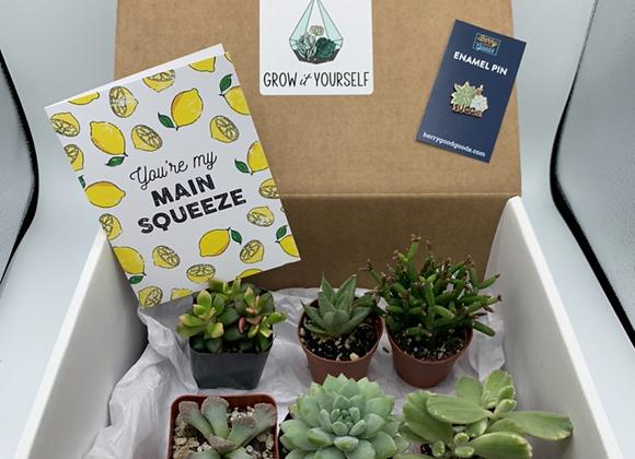 Surprise Succulent Box (6 starter succulents)