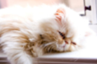 Pet sitting service CatCare - cat sitting-  Montreal and area, West Island