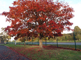 Autumn Tree at Newport