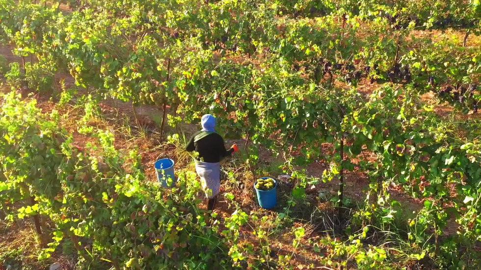 Grape Picking at Sunrise.
