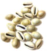 Kauri Shells.png