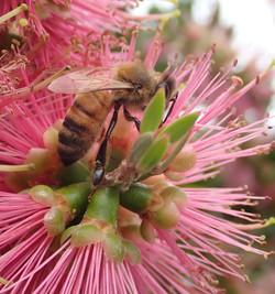 Callistemon BEES-Glenbrook_edited