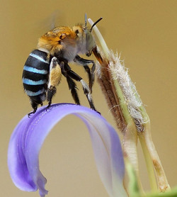 Blue Banded Bee on long tube Acanthus