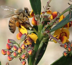 Bee-Davesia corymbosa, WWFalls Jamison C