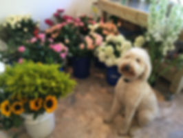 Bailey our Goldendoodle is mad about flowers too!