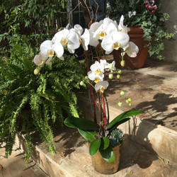 White Orchid with Succulents