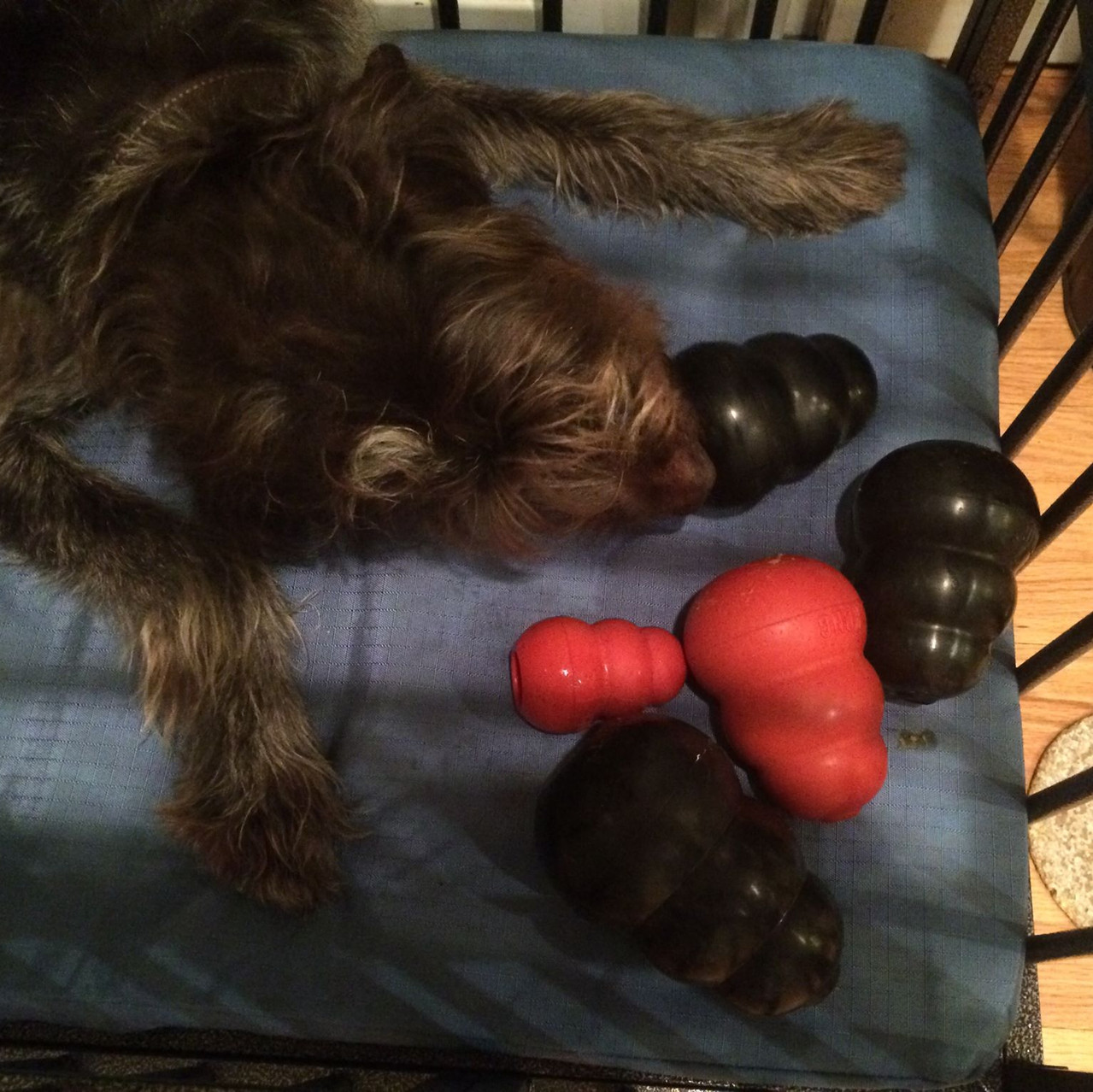 Piper with kongs