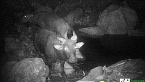 First tamaraw pictures caught by the camera traps in Aruyan-Malati (December 2017)