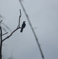 Small-billed raven - Corvus enca.JPG