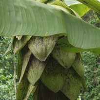 Wild banana - Musa sp..JPG