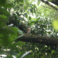 Besra - Accipiter virgatus.JPG