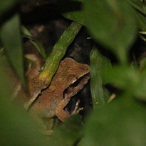 Rough-backed forest frog (Platymantis co