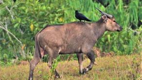 Tamaraw, deers and birds - Mts Iglit-Baco Natural Park  (April 17-21)
