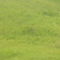 Philippine deer - Rusa marianna.JPG