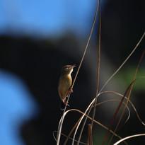 Golden-headed cisticola - Cisticola exil