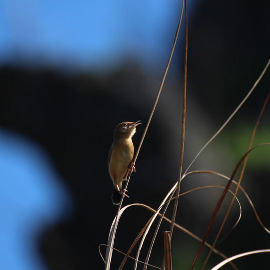 Golden-headed cisticola - Cisticola exil