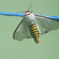 Red costate tiger moth - Aloa lactinea.J