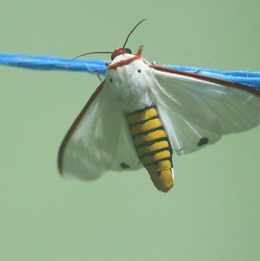 Red costate tiger moth - Aloa lactinea.J