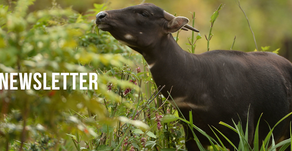 Tamaraw research work in the frame of the Asian wild cattle conservation effort - July 22, 2020