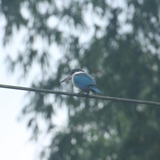 White-collared kingfisher - Todiramphus
