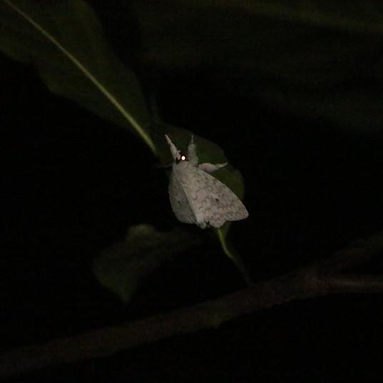 Tussock moth - Lymantria sp..JPG