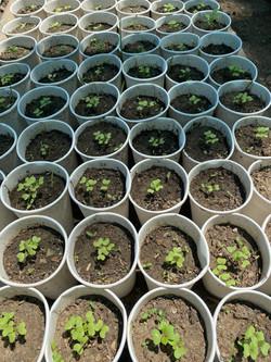 Petchai Seedlings