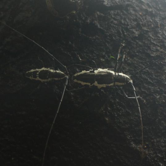 Long-horn beetles.JPG