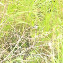 Long-tailed shrike - Lanius schach.JPG
