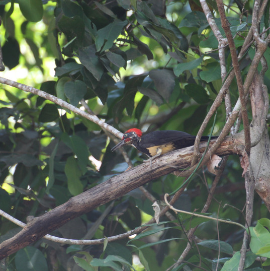 Ivory-bellied woodpecker - Dryocopus jav
