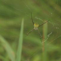 Orb weaving spider - Argiope sp..JPG