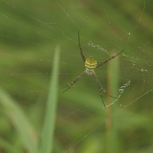 Orb weaving spider - Argiope sp..JPG