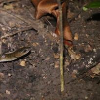 Muller's wolf snake - Lycodon muelleri.J