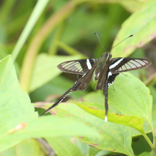 Green dragontail - Lamproptera meges.JPG