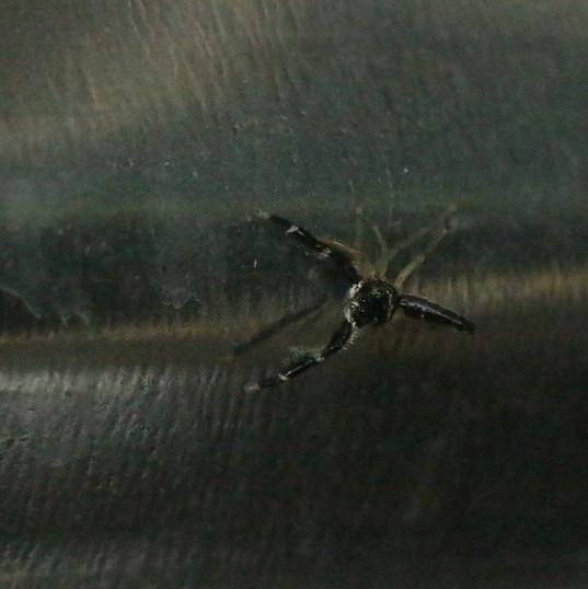 Jumping spider - fam. Salticidae.JPG