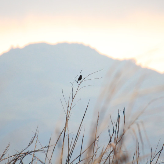 Pied bushchat - Saxicola caprata.JPG