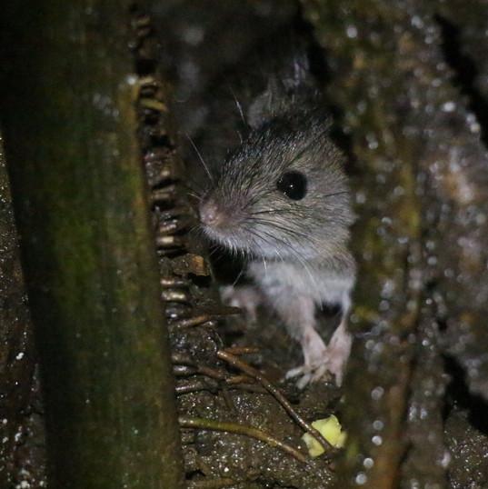 Asian field rat - Rattus tanezumi.JPG