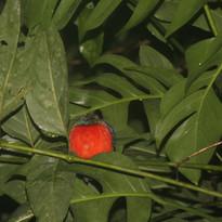 Philippine pitta - Erythropitta erythrog