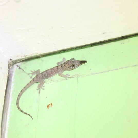 Mindoro narrow-disked gecko - Gekko mind