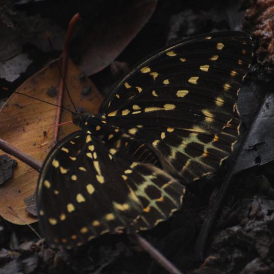 Yellow archduke (female) - Lexias pardal