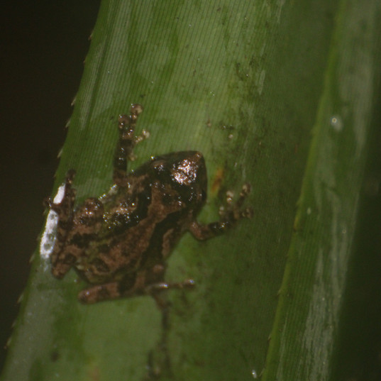 Mindoro tree frog - Philautus schmackeri
