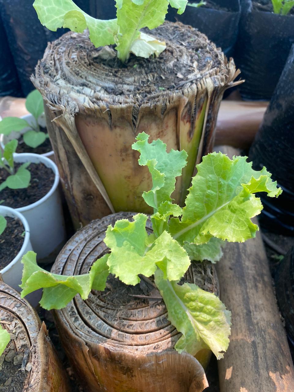 Lettuce grow in banana trunk