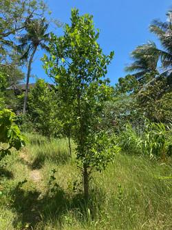 Calamansi Tree
