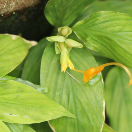Globba campsophylla.JPG