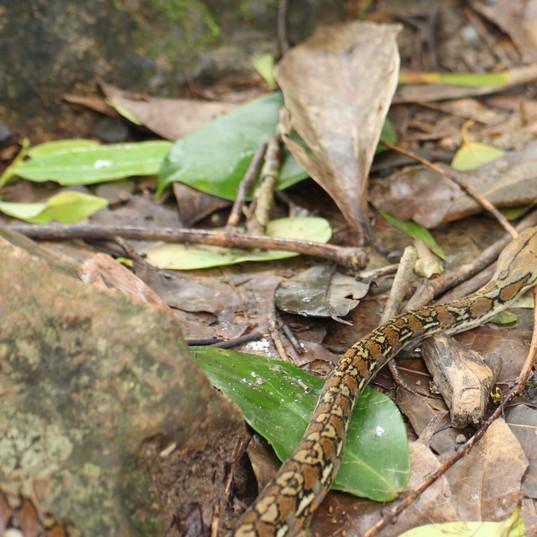 Reticulated python - Malayopython reticu