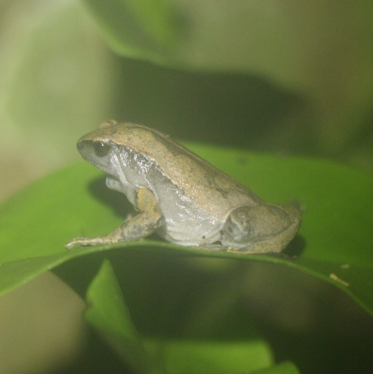 Philippine narrowmouth frog - Kaloula co