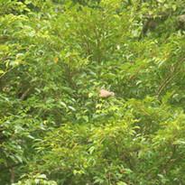 White-eared brown dove - Phapitreron leu