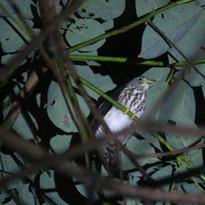 Philippine hawk-cuckoo - Hierococcyx pec
