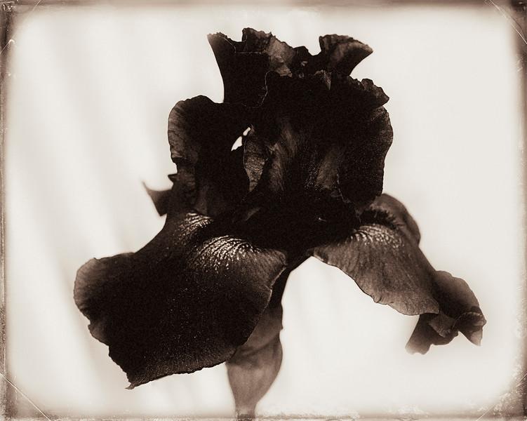 Iris v14(2212)_ copy.jpg